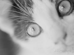Cat's Eyes Photographic Print by Henry Horenstein at AllPosters.com