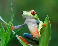 just love them -- Costa Rican red eyed tree frogs...  very very tiny.  Only out at night, so you need a special red light camera flash so you don't blind them taking their photo.