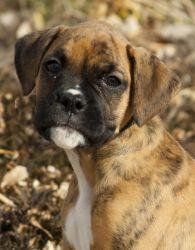 Brindle boxer pup in RC