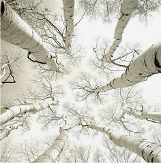 """""""Silver Birch"""" photograph by Adam Brock. I miss the silver birch trees of The Midwest. Shades Of White, Black And White, White Pic, White Light, Light Blue, Foto Real, All Nature, Nature Tree, Winter White"""