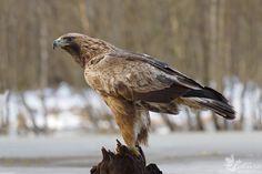 Aquila chrysaetos - kilnusis erelis Golden Eagle, Birds Of Prey, Eagles, Bald Eagle, Owl, Penne, Europe, Animals, Nature