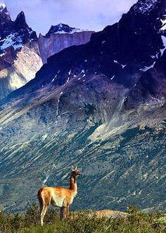 Guanaco, Los Glaciares National Park, Argentina.  Photo: John Baker