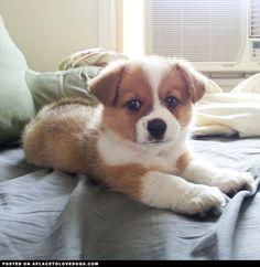New puppy Augustus, a Corgi and mini Australian Shepherd mix is practically as cute as a button, if not cuter. *