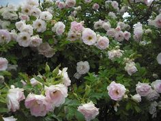 Ritausma, kentän edessä, IV, 100-150cm, terve, Ruusun ja omenan tuoksu. Lehdet tuoksuvat sateen jälkeen aprikoosilta.