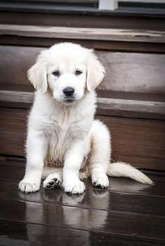 English Cream Golden Retriever Puppies                                                                                                                                                     More
