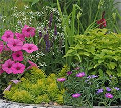 Sam combines perennials like this bright pink ice plant, Sedum 'Angelina', Salvia, daylilies, and even a colorful Caryopteris 'Hint of Gold' with pink petunias and 'Diamond Frost' Euphorbia.