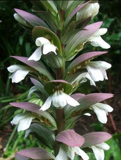 Detail: Acanthus/Bear's Breech 'Morning Candle' flowers
