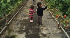 Strawberry picking is a popular activity in Japan Winter through Spring. Kawatsura Strawberry Picking Farm is one of our favorite Japan Strawberry farms. Strawberry Farm, Strawberry Picking, Tokyo With Kids, Chiba, Flower Farm, Cool Kids, Japan, Flowers, Fun
