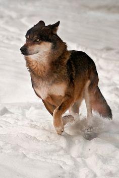 Eurasian wolf (Canis lupus lupus) Lobo from Prague Zoo