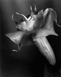 Imogen Cunningham's photography also focuses on the formal elements within nature, but unlike Karl Blossfeldt's work, hers consists of many more graceful and elegant lines as opposed to strict, direct forces.