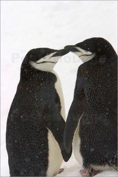 Besonders wenn es dem Fotografen gelingt, den richtigen Moment abzupassen, können emotionale und einzigartige Tierfotografien entstehen. So zum Beispiel dieses Poster eines Liebebeweises unter Pinguinen.