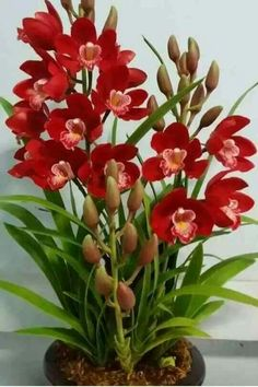 Elegant Red Orchid