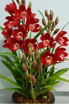 Elegant Red Orchid