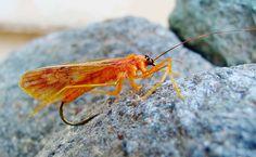An incredibly realistic caddis sedge fly.