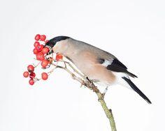 Sanna Kannisto (@sanna_kannisto) • Instagram photos and videos Bird, Photo And Video, Videos, Instagram Posts, Photos, Photography, Pictures, Photograph, Birds