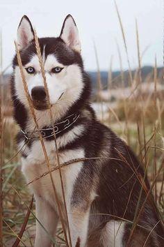 Siberian Husky - beautiful~
