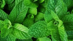Healing Properties Peppermint oil is considered to be one of the most useful and beneficial oils to have on hand. It can help with a wide variety of ailments. Doctors prescribe it to help treat conditions like irritable bowel syndrome (IBS), headaches, upset stomach, a blocked respiratory tract, nausea (including morning sickness), and even heartburn. …