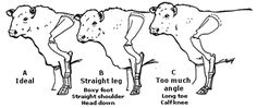 Figure Front leg and shoulder structure of the bull Livestock Judging, Showing Livestock, Dexter Cattle, Beef Cattle, Cattle Dogs, Pig Showing, Teacup Pigs, Show Cattle, Cattle Farming