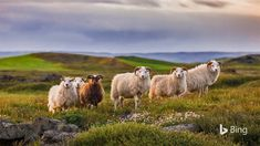 Each September in Iceland brings the arrival of réttir, the annual sheep roundup. After spending spring and summer grazing in the hills...