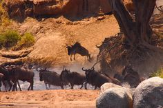 the great wildebeast migration, Serengetti Tanzania
