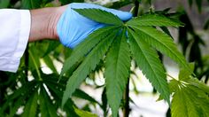 Cannabis combined with radiotherapy can make brain cancer 'disappear,' study claims Published time: 15 Nov, 2014