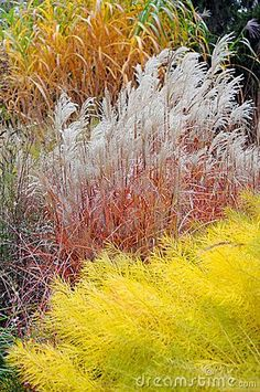 [Ornamental Grass] ... Great color contrasts