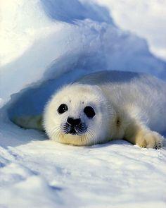 baby harp seal   Baby harp seal, Magdallen Islands, Nova Scotia, Canada