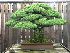It took 25 years for anyone to figure out this bonsai tree survived the Hiroshima bombing.