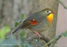 Pekin Robin or Red-billed Leiothrix(Leiothrix lutea) photographed by Gaell. Found in the Himalayas, N Burma, N Vietnam and S, SC and E China. Is very much collected  and escapees have established small populations in varios parts of Europe. This example was photographed in France. Red Bill, Robin Bird, Nightingale, Robins, Bird Watching, Beautiful Birds, Vietnam, Chinese, Europe