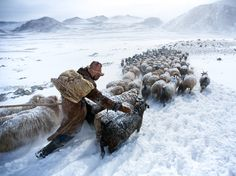 """February 20, 2014. Herder in the Altay Mountains, Mongolia. Photograph by Tariq Sawyer.  A shepherd travels with his herd of sheep through a snowy plateau in the Altay Mountains of Mongolia. The mountain chain—whose name means """"Golden Mountains""""—extends some 1,200 miles through China, Mongolia, Russia, and Kazakhstan."""