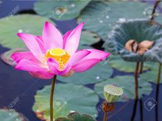 Beautiful Lotus Flower Stock Photo, Picture And Royalty Free Image. Image 21994199.