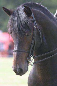 New Forest Pony stallion Hanmar Wizard