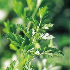 Parsley Seeds - Plain Leaved 2 at Suttons Seeds Small Garden Veg, Vegetable Garden, When To Plant Vegetables, All Vegetables, Sutton Seeds, Fish And Meat, Fruit And Veg, Garden Supplies, Parsley