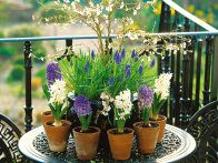 Traditional terra cotta pots hold spring hyacinths and grape hyacinths on a patio display. Containers for plants come in a variety of shapes, sizes and materials. They can make a subtle or dramatic statement to patio, terrace or backyard.
