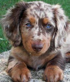 Chocolate Blue Merle Australian Shepard. Those eyes! by petijo