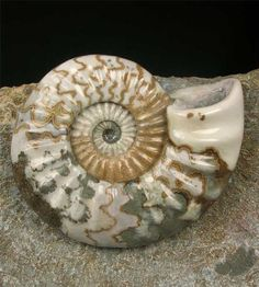UK Fossils for sale including ammonites - Fossils Direct. Fossils for sale, high quality British fossils in our on-line fossil shop, from one of the UK's leading fossil dealers. Minerals And Gemstones, Crystals Minerals, Rocks And Minerals, Carnival Of The Animals, Cool Rocks, Ammonite, Rocks And Gems, Sea Creatures, Prehistoric