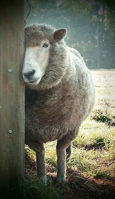 How a sheep looks coy! Farm Animals, Animals And Pets, Cute Animals, Beautiful Creatures, Animals Beautiful, Sheep Paintings, Wooly Bully, Sheep Art, Sheep And Lamb