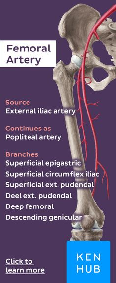 The femoral artery is a continuation of the external iliac artery and constitutes the major blood supply to the lower limb #arteryfacts #learn #anatomy