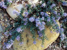 ceanothus valley violet - Google Search