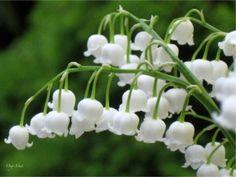 las flores mas lindas del mundo el lirio de los valles