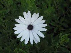 sailor boy daisy Osteospermum