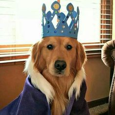 Goldens are kings!!