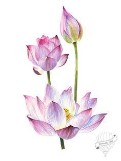 watercolour lotus on Behance Lotus Flower Art, Lotus Art, Lotus Flower Paintings, Watercolor Flowers, Watercolor Paintings, Tattoo Watercolor, Lotus Painting, Lotus Drawing, Drawing Flowers