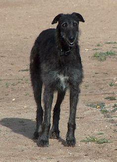 sottish deerhound phot | Scottish Deerhound, Lurcher, Scottish Deerhounds/Lurchers, Dog Breed ...