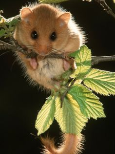 meester-de-common-dormouse-belgium.jpg (337×450) The common, or hazel dormouse is now an endangered species.