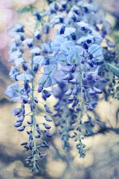 Textured Wisteria in Vintage Pastels Art Print - blues and purple, soft light & bokeh - beautiful blossoms. $16.00