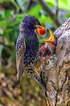 L'Assommoir Starling and chick by Salam