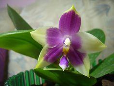 Jennifer Palermo | Phalaenopsis Hybriden » Phal. Jennifer Palermo x LD's Bear Queen