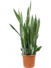 Sansevieria velvet touch 45 cm wurden die Spitzen in Farbe eingetaucht Blue Succulents, Cactus Plants, Potting Soil, Frugal, Indoor House Plants, Cactus, Colour, Cacti
