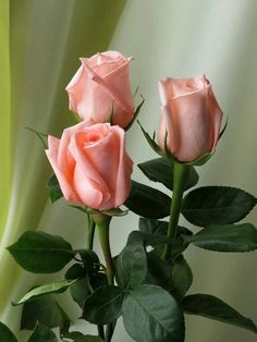 Nothing found for Benefits Of Rose Shrubs Exotic Flowers, Amazing Flowers, Beautiful Roses, My Flower, Beautiful Flowers, Landscaping With Fountains, Rosa Rose, Rose Pictures, Ikebana